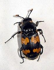 Hrobárik obyčajný (Nicrophorus vespillo)