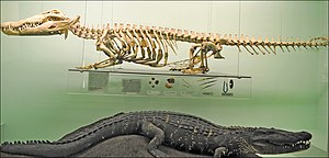 Crocodilia - Mounted skeleton and taxidermy of Nile crocodile