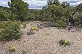 Ninemile Hill - Flickr - aspidoscelis (1).jpg