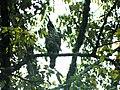 Nisaetus bartelsi bird perches on a tree in the Raden Soerjo Mojokerto Forest Park, Malang Regency, East Java.jpg