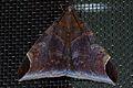 Noctuid Moth (Pindara illibata) (8537286549).jpg
