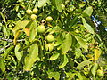 Noix en automne - walnuts.JPG
