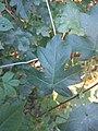Noordwijk - Spaanse aak (Acer campestre) v2.jpg