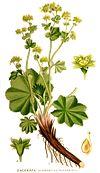 Nordens flora Alchemilla vulgaris clean.jpg