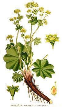 Alchemilla vulgaris,