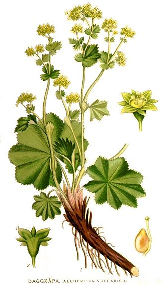 Alchemilla - Illustration of Alchemilla vulgaris from 1917–1926