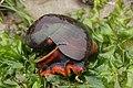 Norris's Top Snail - Norrisia norrisii (41653830110).jpg