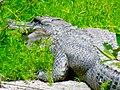 North American Alligator.jpg