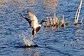 Northern shoveler drake taking flight Sand Lake WMD (14088491761).jpg
