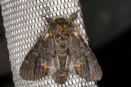 Notodonta dromedarius, Lodz(Poland)01(js).jpg