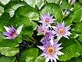 Nymphaea colorata.jpg