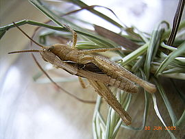 Nymphe of grasshopper.JPG