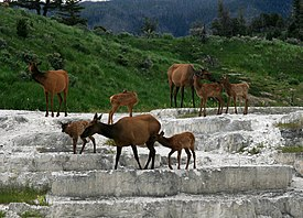 A small group of elk, composed of several does and their calves, loiter peacefully on the jagged steps of gray, rocky travertine, behind which is a picturesque landscape of plush, green hills covered in grass and trees.