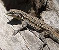 ORNATE TREE LIZARD Urosaurus ornatus - Flickr - gailhampshire (1).jpg