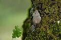 Oak Titmouse chick (Baeolophus, inornatus)....2.jpg