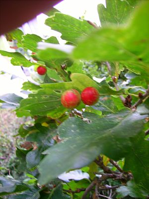 Oak apple - Image: Oak apple Wiltshire October 2007