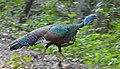 Ocellated Turkey (Meleagris ocellata) crossing the road - Calakmul Biosphere Reserve.jpg