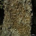 Ocellularia praestans - Flickr - pellaea (2).jpg