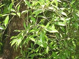 Ocotea porosa - Jardim Botânico de São Paulo - IMG 0361