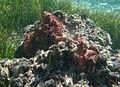 Octopus cyanea, accouplement.jpg
