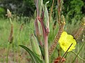 Oenothera stricta fruit6 (15495586140).jpg