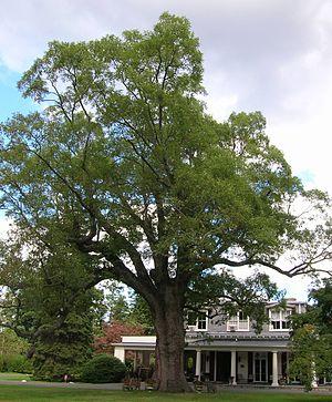 Scarsdale, New York - Scarsdale Woman's Club - Historic Oak Tree (September 2012)