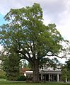 Old Oak Tree - Scarsdale Woman's Club - Scarsdale, NY - September 2012.jpg