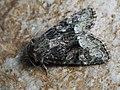 Oligia latruncula - Tawny marbled minor - Злаковая совка шашечная (42269975714).jpg