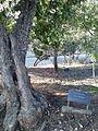 Ona Šimaitė tree.jpg