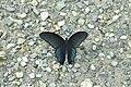 Open wing position of Papilio protenor Cramer, 1775 – Spangle WLB DSC 0302.jpg