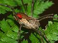 Opiliones Harvestman and mite 8-3-11.jpg