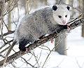 Opossum 3.jpg