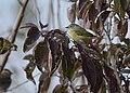 Orange-crowned Warbler (31796181248).jpg