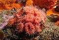 Orange cup coral.jpg