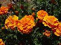 Orange marigolds.jpg