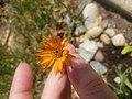 Orange wedelia.jpg