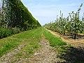 Orchard near Homestall Farm - geograph.org.uk - 170540.jpg