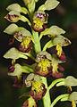 Orchis punctulata 2.jpg