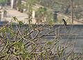 Oriental Magpie Robin (Copsychus saularis) singing on a Vilaiti Siris (Samanea saman) in Kolkata W IMG 4539.jpg