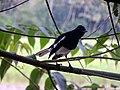 Oriental Magpie Robin (M) മണ്ണാത്തിപ്പുള്ള് (ആൺ).jpg