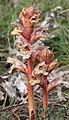 Orobanche alba inflorescence (28).jpg