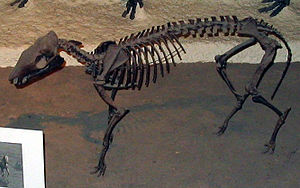 Orohippus - Skeleton of Orohippus pumillus at the Smithsonian Museum of Natural History.