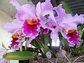 Orquideas tradicionales.JPG