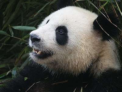 Oso-panda-negro.jpg