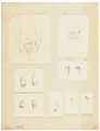 Otaria stelleri - gebit - 1700-1880 - Print - Iconographia Zoologica - Special Collections University of Amsterdam - UBA01 IZ21100091.tif
