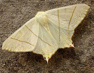 Swallow-tailed moth - Image: Ourapteryx sambucaria 01