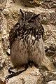 Owl (2724918284).jpg