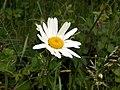 Ox-eye Daisy (Leucanthemun vulgare) - geograph.org.uk - 455787.jpg