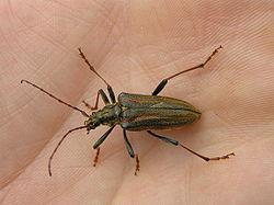 Xylophage wikip dia for Insecte de bois maison