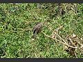 Pássaro cigana - rio araguaia.jpg